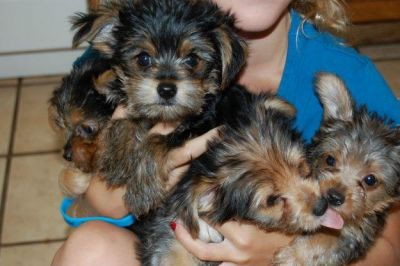 Gorgeous Yorkshire terrier puppies for adoption