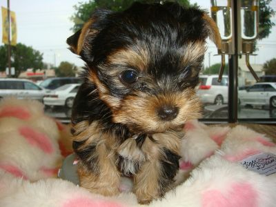 Two Cute and Adorable Yorkie puppies for adoption (mirakates@yahoo.com)