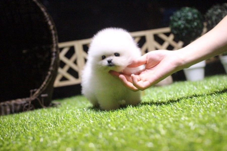 Playful Teacup Pomeranian Puppies ready