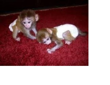 Capuchine Monkeys Available