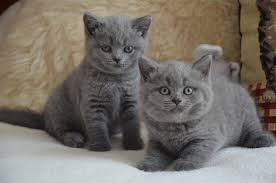 Male and female british short hair kittens for sale