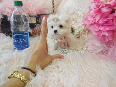 Excellent maltese puppies for sale
