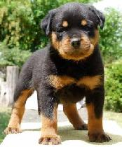 Top Quality Rottweiler Puppies for adoption to caring Homes
