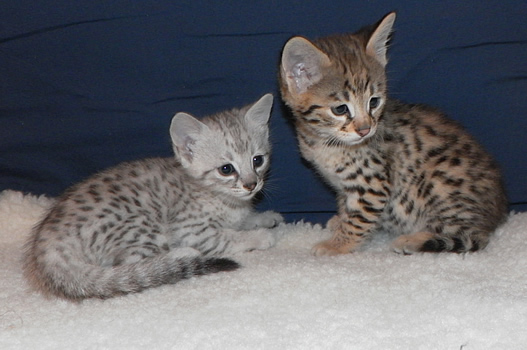 3 Savannah Kittens For Adoption