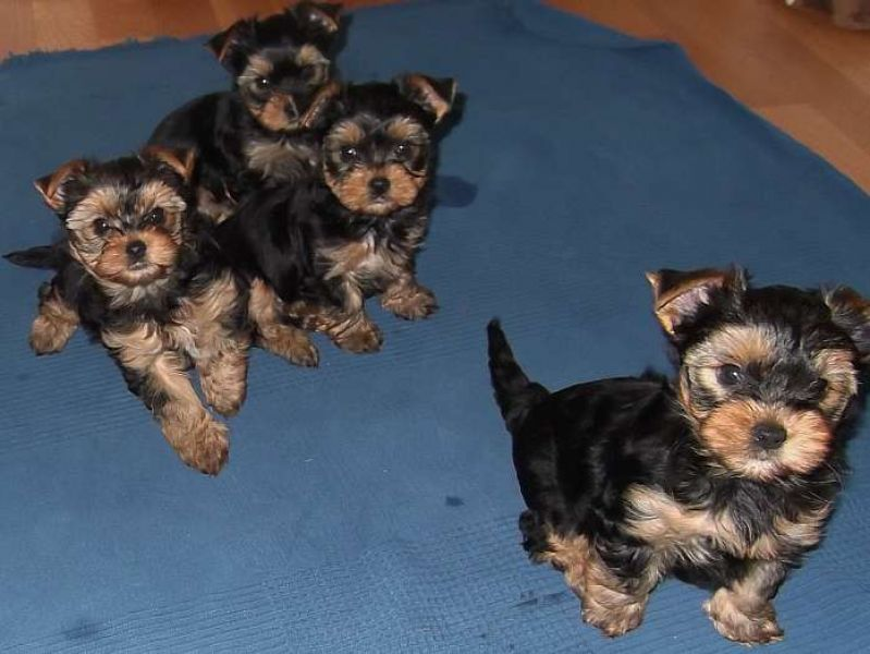 TEACUP YORKIE PUPPIES TEXT US ((201) 338-7436)
