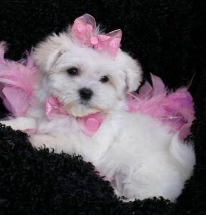 Tea cup maltese puppies ready to go now