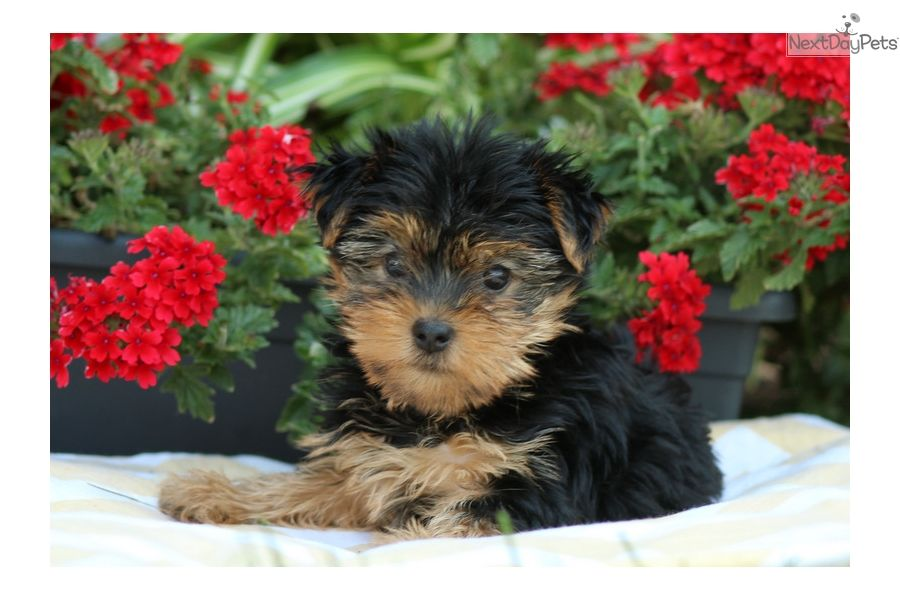 Tea cup yorkie puppies for adoption