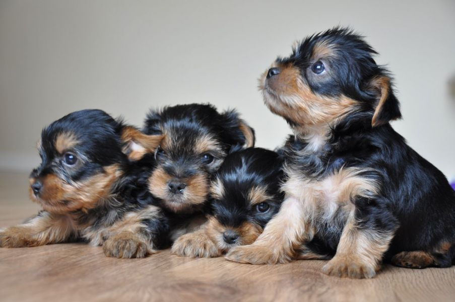 Tiny Yorkshire Terrier Puppies Kc Reg Full Pedigree