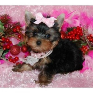 Supper Cute Teacup Yorkie Puppies For Adoption