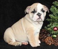loving English Bulldog Puppies