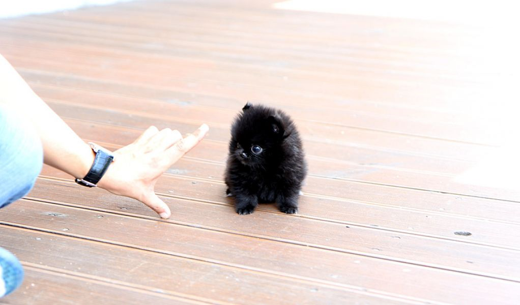 Adorable Teacup Pomeranian Puppies