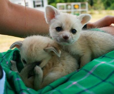 Low cost Big Cats, kittens,Cheetah,Tiger and Fennec Fox,chimpanzee For Sale