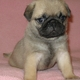 Cute and Adorable Pug Puppies Available.