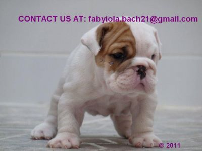 CUTE MALE & FEMALE ENGLISH BULLDOG PUPPIES FOR ADOPTION!