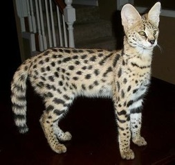 Where Can I Buy A Serval Cat In The Us