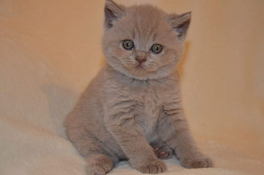 Bi Colour And Blue British Shorthair Boys For New Loving Homes