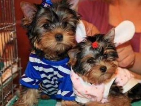 Beautiful Teacup Yorkie puppies ready to go now