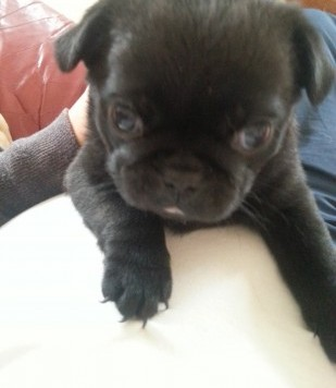 charming Male pug puppy available now.