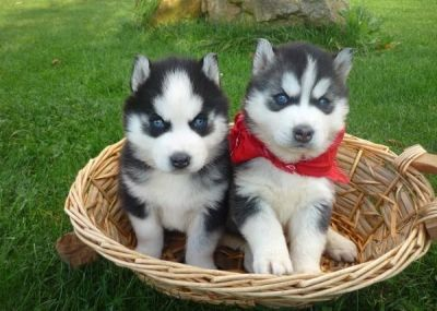 Quality and lovely Siberian Husky Puppies For Sale