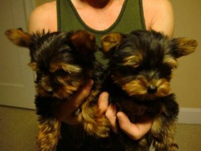 male and female tea cup yorkie puppies for adoption ?