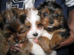 Male and female Yorkie puppies for good homes