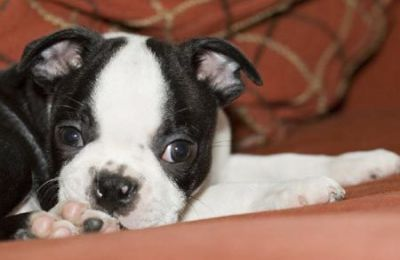 Pure breed Boston Terrier puppies for sale