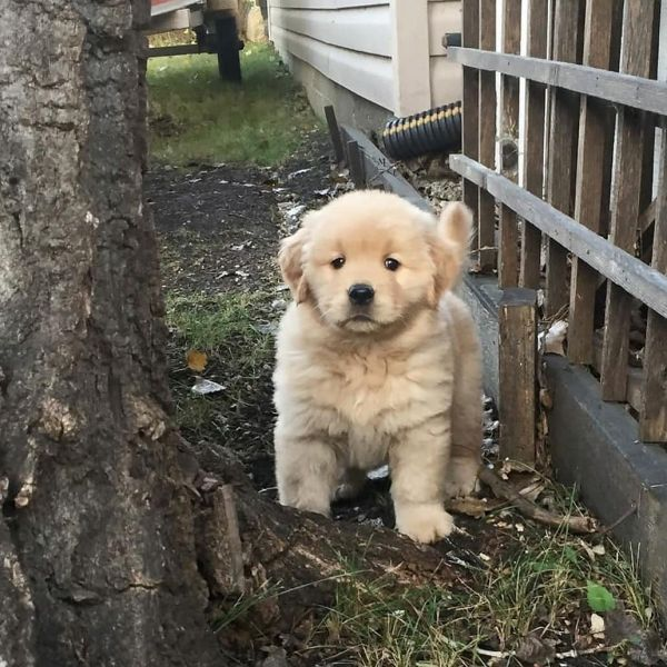 12 weeks old golden retriever puppy for sale