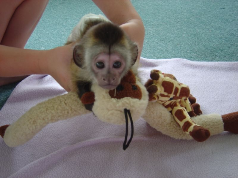 Cute Capuchin Monkeys Available Now To Love