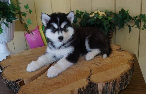 Pure male and female Siberian Husky Puppies ready now