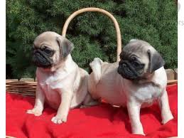 Cute Pug Puppies availlable for adoption