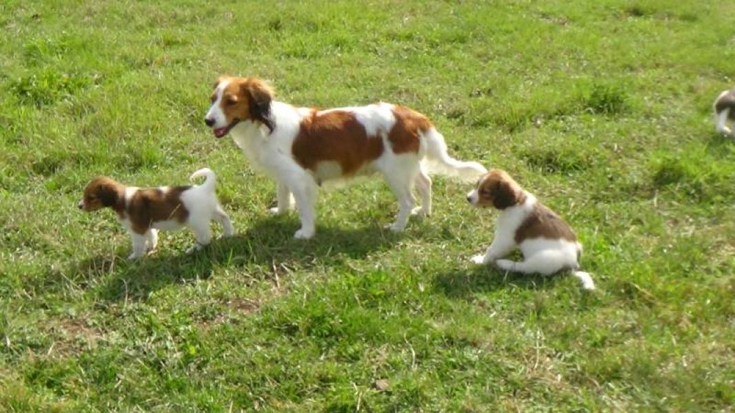 Kooikerhondje puppy (male) with pedigree