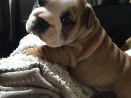 English Bulldog Pups Carrying Chocolate