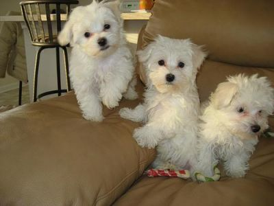 lovely male and female maltese Puppies For Adoption