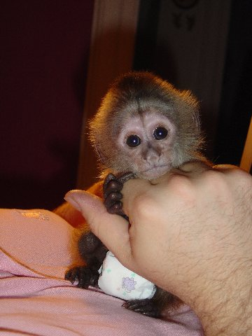 Two cute Tamed Baby Capuchin Monkeys available for adoption