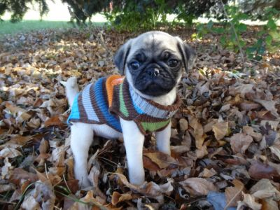 AKC & CKC Pug Puppies For Adoption