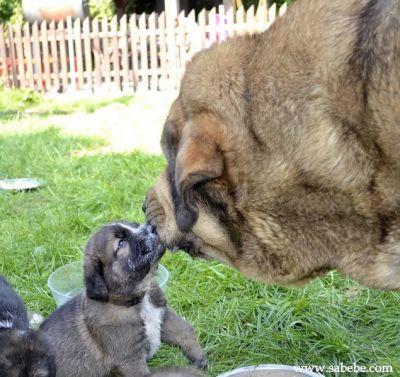 Spanish Mastiff Puppies For Sale