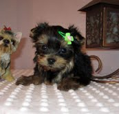 AMAZING X-MASS TEACUP YORKIE PUPPIES FOR FREE ADOPTION
