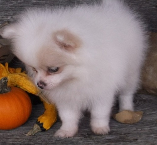 T.V, washing ^ KC registered Pomeranian & cup,food/water -0-11 weeks old Ready to Leave