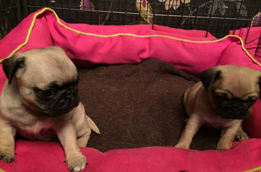 Beautiful Pure Bred Pug Puppies For Sale