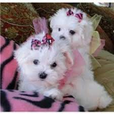 Two cute Maltese puppies
