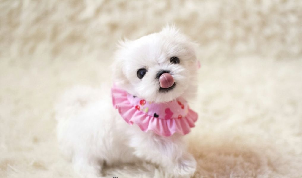 Tiny Teacup  Maltese ready for sale