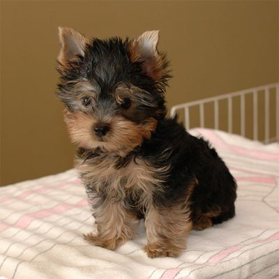 Cute X MAS Male And Female Yorkie Puppies For Sale Now Ready To Go Home