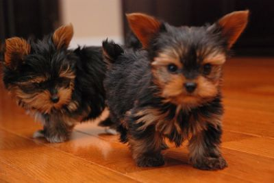 Awesome Teacup Yorkie Puppies for Adoption..