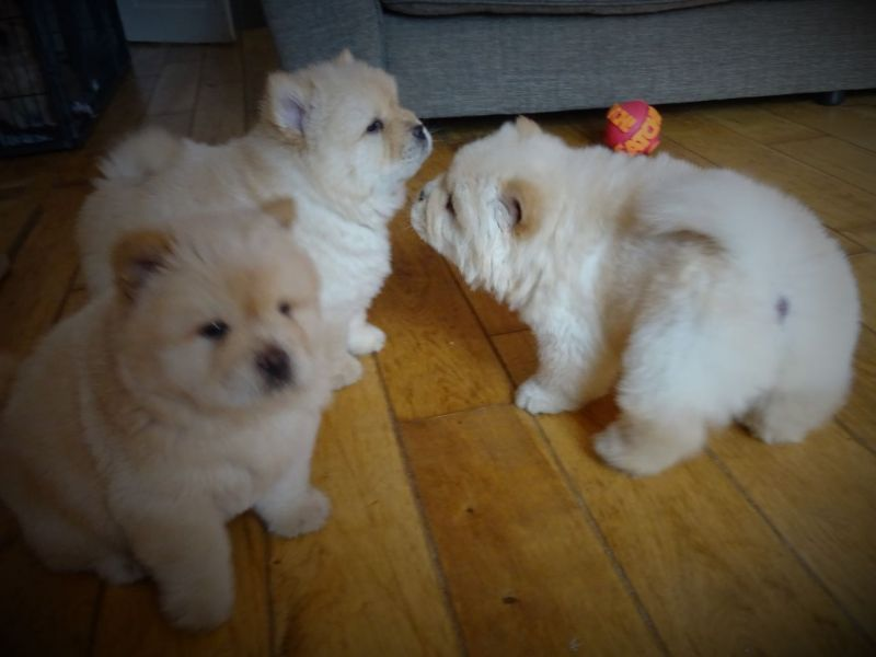 Socialized Chow Chow puppies