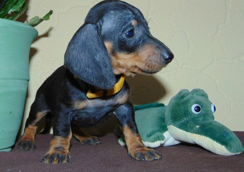 Miniature Dachshund puppies For Sale £250