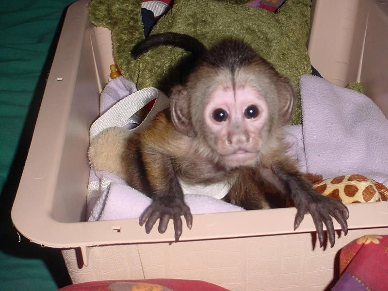 Capuchin Monkey For Re-homing (561)4946961