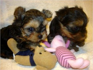 Lovely Teacup Yorkie puppies available