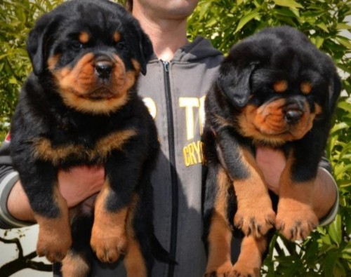 Pedigree Stunning Rottweiller Puppies Available