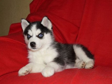 Cute Siberian Husky Puppies For Free Adoption