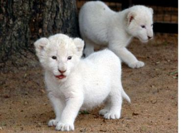 Registered Home Raised Tiger Cheetah Lion Cubs And